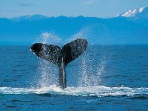 Humpback Whale - kopija