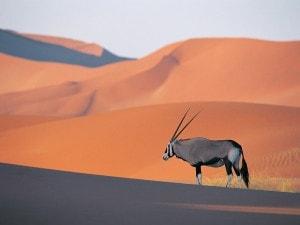 Oryx Antelope - kopija